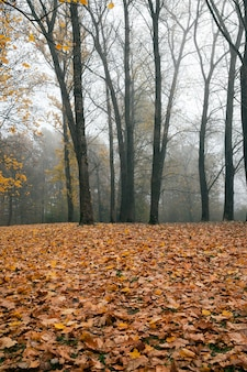 Туманное утро в парке после опадания листьев, осенний сезон посреди осени с голыми лиственными деревьями