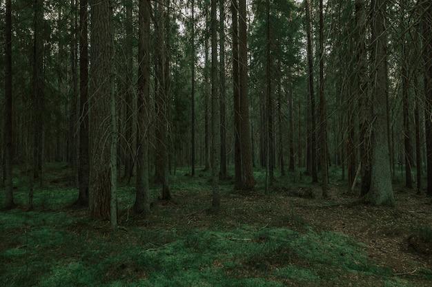 Туманный сосновый лес поздним вечером