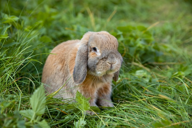 Fold-eared rabbit sits on the lawn