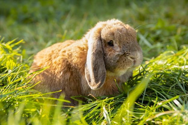 耳を折ったウサギが芝生の上に座っている