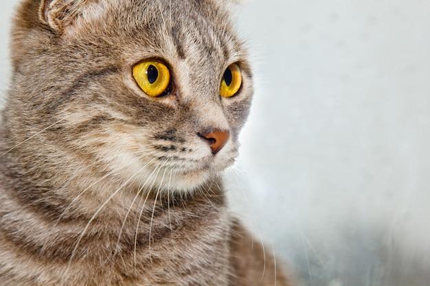 Fold scottish cat sitting on the windowsill