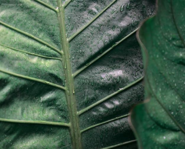 변덕스러운 짙은 녹색 물방울 질감 배경이 있는 단풍 안스리움 식물 천연 잎