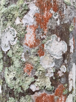 Foliose lichen growth on the bark of the tree