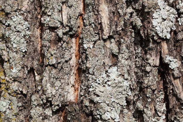 木の上の葉状地衣類のテクスチャ。屋外の森の非常に詳細な真菌と苔。奇妙な植物学。木の樹皮に生えているカビのマクロ。テクスチャ。