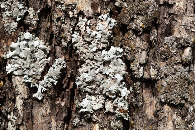 Foliose lichen texture on the tree. highly detailed fungus and moss in the outdoors forest. bizzare botany. mold macro growing on the wood bark. texture.