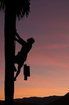 Folk climb trees to collect  sugar palm.