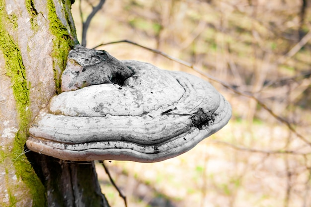 Fomes fomentarius (commonly known as the tinder fungus) on live tree