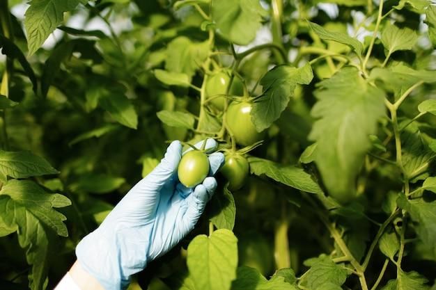 温室でトマトを示す食品科学者