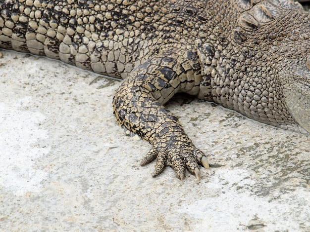 Foot crocodiles close up in thailand