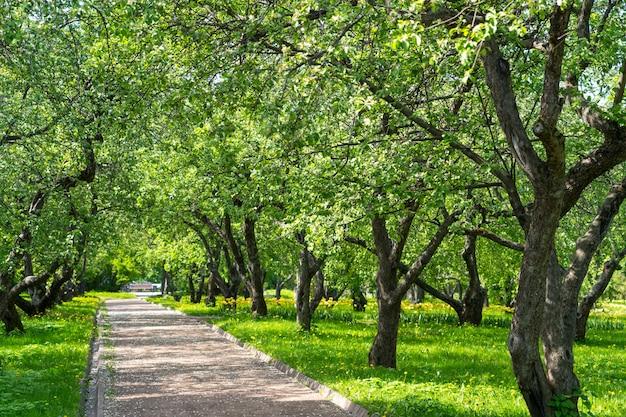 Аллея тропинок через весенние цветущие яблони