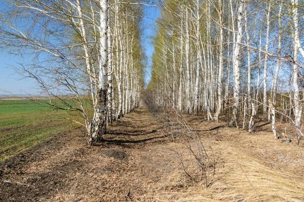 봄 화창한 날에 나무 심기 자작 나무 사이 보도 아름다운 봄 풍경