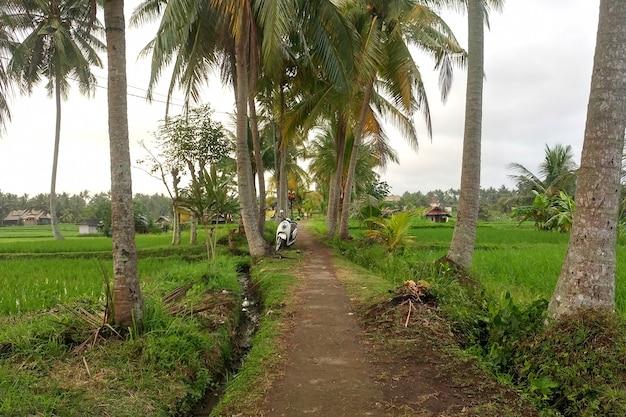 Тропинка между пальмами, ведущая через рисовые поля в джунгли.