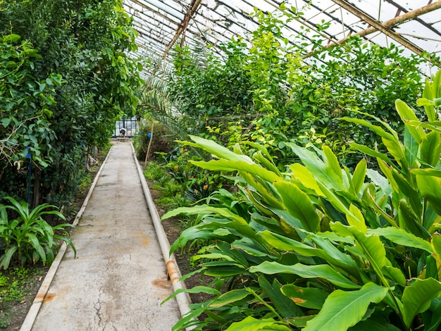 Footpath in the greenhouse with tropical plants. the glass roof passes a daylight