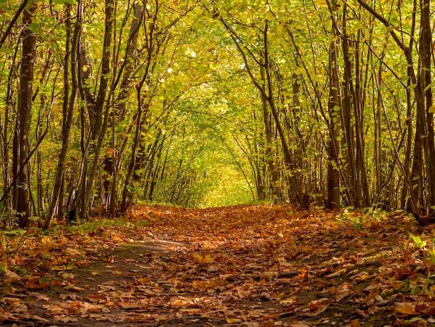 高い木々のある秋の霧の森の小道。不思議な道。黄色の葉で紅葉の森をアーチします。