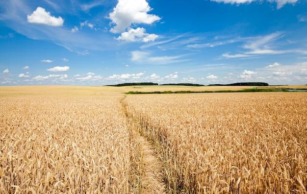 Тропинка в поле - небольшая проторенная тропинка в сельскохозяйственном поле.