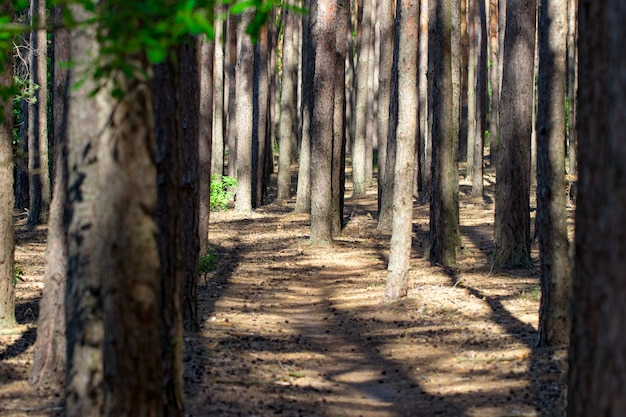 The footpath in the pine forest background.