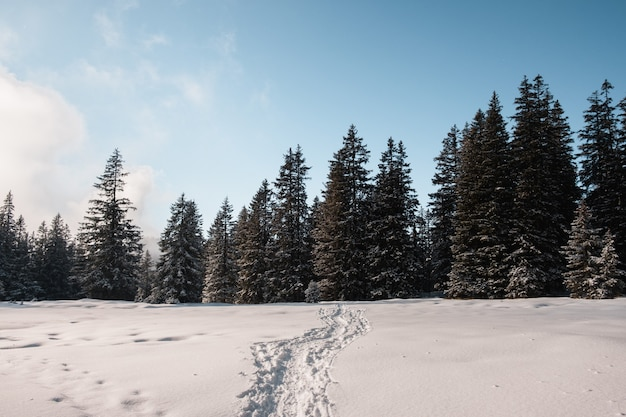Footsteps on snow leading to the spruce forest in winter