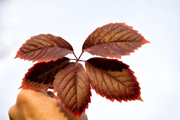 식물 표본 수집용. 가 잎 화이트에 격리입니다. 잎은 가을에 붉고 갈색으로 변합니다. 손에 가을 단풍. 선택적 초점입니다. 가 색상입니다. 취미나 과학 공부.