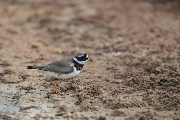 Foraging common ringed plover,charadrius hiaticula