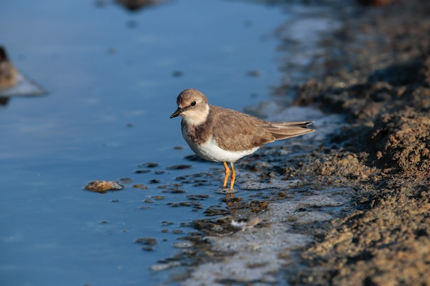 Foraging common ringed plover on the seashore