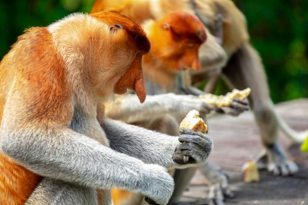 採餌、保護動物、動物、テングザル