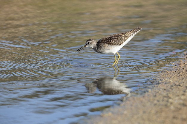 Foraging wood sandpiper in the shore