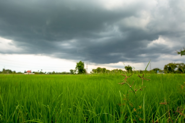 Foreground grass  rice field