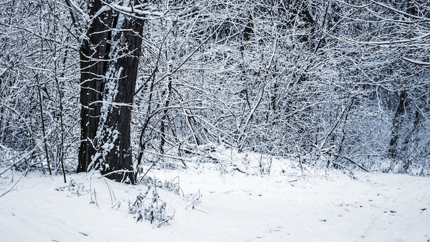 Лес после метели, зимний лес с заснеженными деревьями