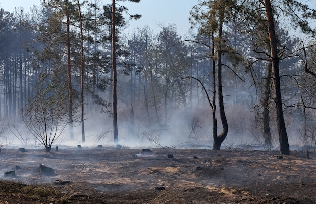 Forest after the fire with burned trees