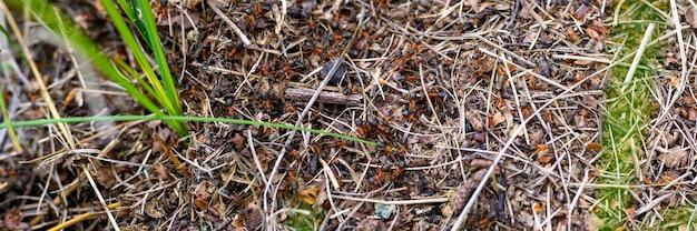 Лесной муравейник из веток деревьев с муравьями заделывают. мир насекомых в природе. знамя