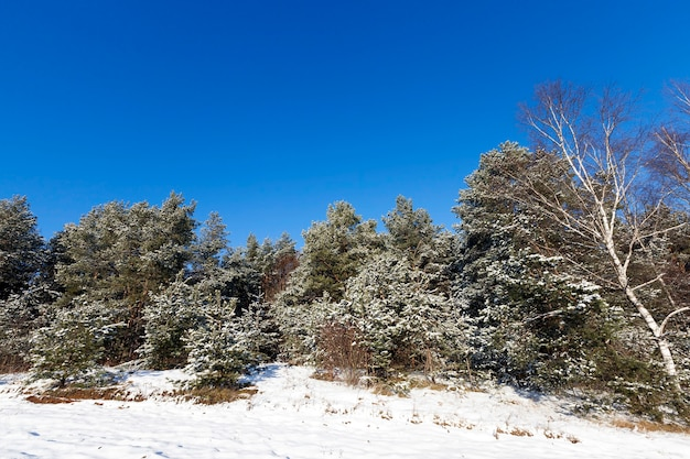 Forest area, planted with pine trees. on the branches of fir trees is white snow after a snowfall.  close-up in winter. the ground is covered with snow drifts