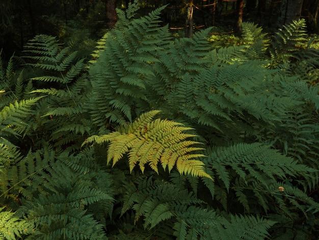 Лесной фон, красивый дикий папоротник