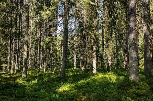 森の背景。森の自然の眺め。