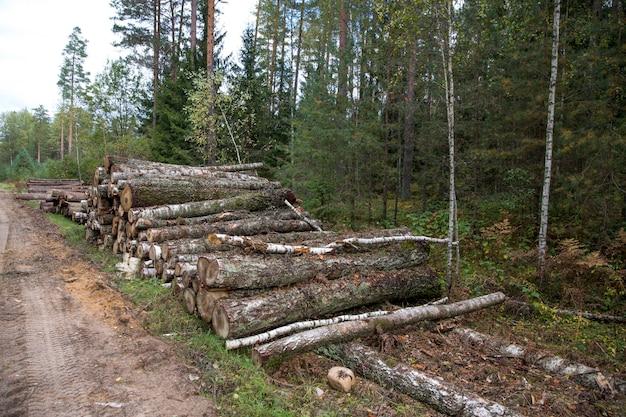 삼림 자작나무, 소나무 및 가문비나무. 통나무 더미, 목공 산업의 벌목. 근접 - 신선한 다진된 나무입니다. 벌채 된 숲, 목재 나무 줄기의 처리. 추상 나무 배경 사진