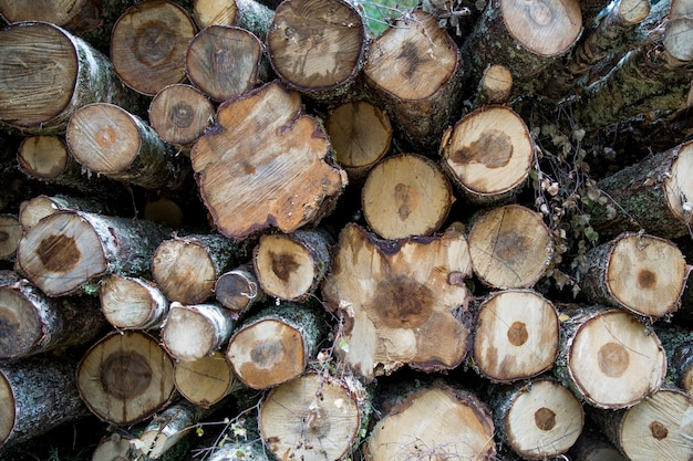 Forest birches, pines and spruces. piles of logs, logging of the woodworking industry. close-up - fresh chopped wood. processing of felled forests, lumber tree trunks. abstract wood background photo