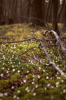 春に咲く森。森の中の白い花。日没