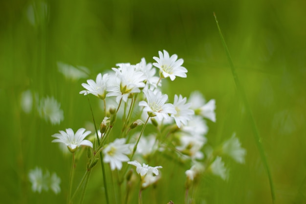 Forest chamomile, white wildflowers in the meadow, seasonal flowers on the background of green grass close-up.