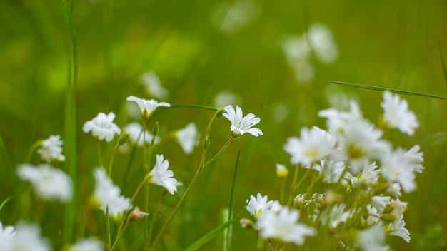 Forest chamomile, white wildflowers in the meadow, seasonal flowers on the background of green grass close-up