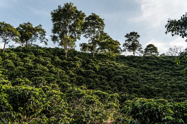 Forest coffee farm colombia manizales green