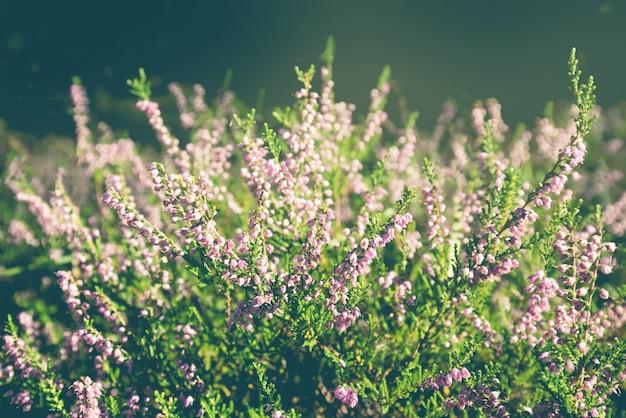 屋外で開花する森の一般的なヘザーの花。ソフトフォーカス、デフォーカス