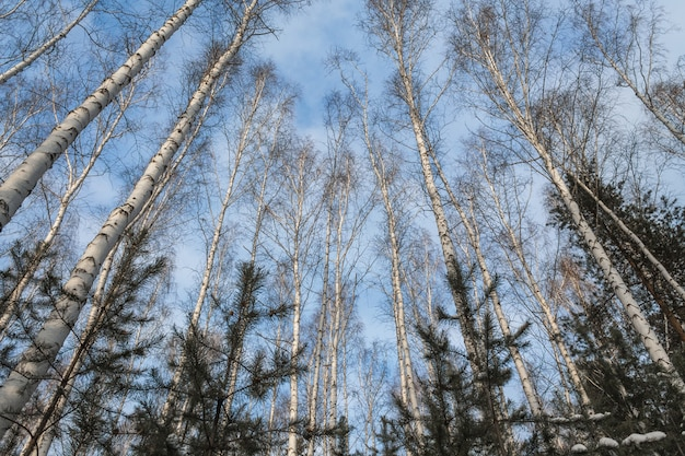 A forest consisting of birch and spruce