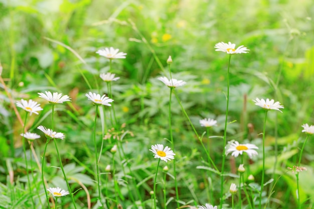 Forest daisies on meadow. blooming daisies in nature. natural.