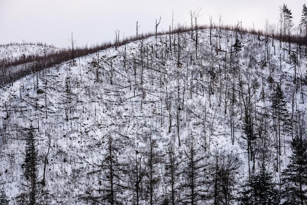 Forest disaster. forest of fallen spruce trees on the side of a mountain in winter.