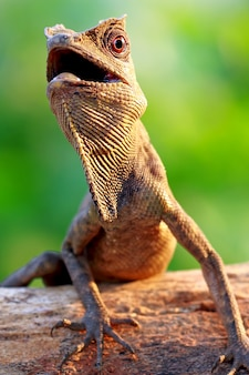 Forest dragon lizard in the branch of wood