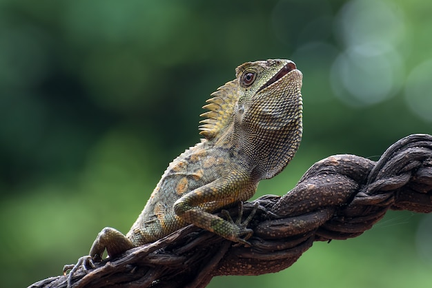 Ящерица лесного дракона на ветке дерева