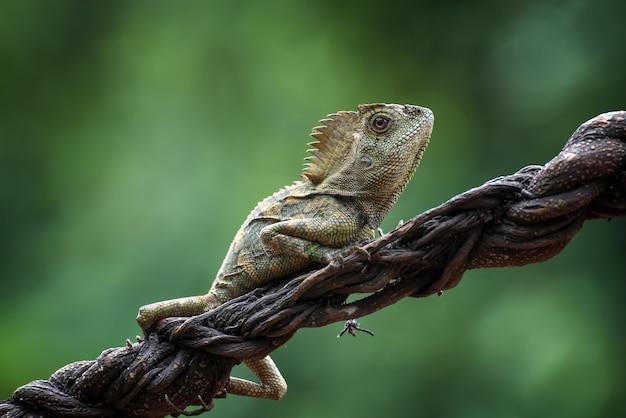 Forest dragon lizard on tree branch