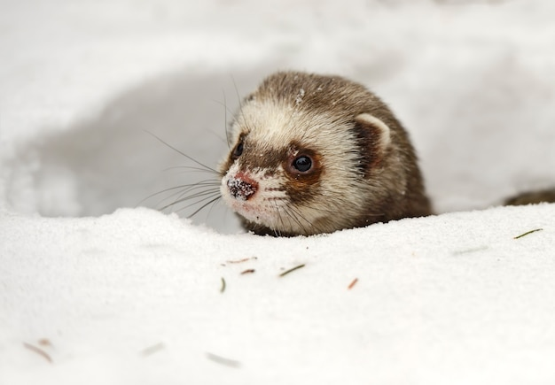 Forest ferret in the woods in winter