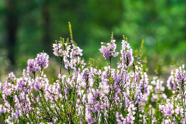 日当たりの良いクリアリングでヘザーの森の花。レニングラード地域。