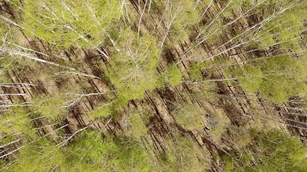 조감도에서 숲입니다. 가느다란 키 큰 나무. 숲이 펼쳐집니다. 숨막히는 전망.
