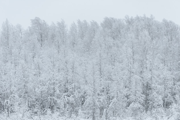 The forest has covered with heavy snow and bad weather sky in winter season at holiday village kuukiuru, finland.